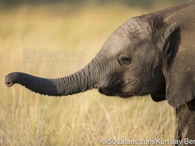 botswana, okavango delta, okavango, wilderness, wilderness safaris, calendar, when to go, best, wildlife, safari, photo safari, photo tour, photographic safari, photographic tour, photo workshop, wildlife photography, 50 safaris, 50 photographic safaris, kurt jay bertels, lion, kill, buffalo, relentless enemies, derek joubert, elephant, baby, calf, trunk, cute