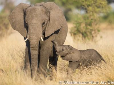 botswana, okavango delta, okavango, wilderness, wilderness safaris, calendar, when to go, best, wildlife, safari, photo safari, photo tour, photographic safari, photographic tour, photo workshop, wildlife photography, 50 safaris, 50 photographic safaris, kurt jay bertels, lion, kill, buffalo, relentless enemies, derek joubert, elephant, baby, calf, cute, drinking