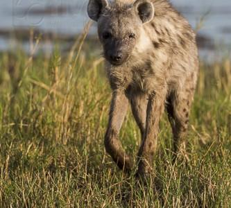 botswana, okavango delta, okavango, wilderness, wilderness safaris, calendar, when to go, best, wildlife, safari, photo safari, photo tour, photographic safari, photographic tour, photo workshop, wildlife photography, 50 safaris, 50 photographic safaris, kurt jay bertels, lion, kill, buffalo, relentless enemies, derek joubert, spotted hyena, blind, hyena, scavenger