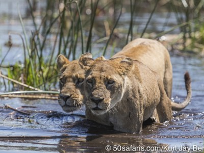 botswana, okavango delta, okavango, wilderness, wilderness safaris, calendar, when to go, best, wildlife, safari, photo safari, photo tour, photographic safari, photographic tour, photo workshop, wildlife photography, 50 safaris, 50 photographic safaris, kurt jay bertels, lion, kill, buffalo, relentless enemies, derek joubert, lion lioness, female, crossing river, swimming