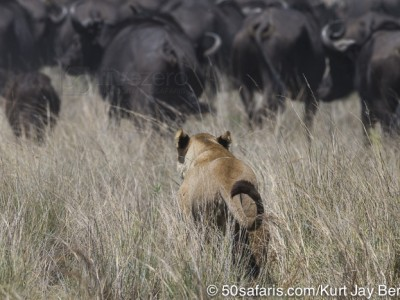 botswana, okavango delta, okavango, wilderness, wilderness safaris, calendar, when to go, best, wildlife, safari, photo safari, photo tour, photographic safari, photographic tour, photo workshop, wildlife photography, 50 safaris, 50 photographic safaris, kurt jay bertels, lion, kill, buffalo, relentless enemies, derek joubert, lioness, lion, kill, buffalo, hunt