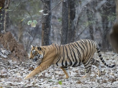 tiger safari, india, ranthambore, tiger, calendar, when to go, best, wildlife, safari, photo safari, photo tour, photographic safari, photographic tour, photo workshop, wildlife photography, 50 safaris, 50 photographic safaris, kurt jay bertels, tiger, male, large, adult, stalking