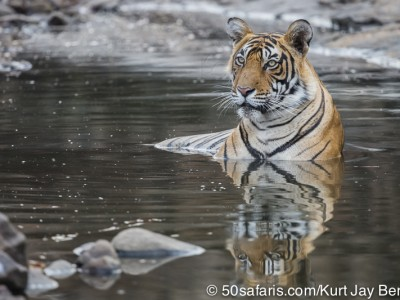tiger safari, india, ranthambore, tiger, calendar, when to go, best, wildlife, safari, photo safari, photo tour, photographic safari, photographic tour, photo workshop, wildlife photography, 50 safaris, 50 photographic safaris, kurt jay bertels, tiger, male, large, adult, swimming