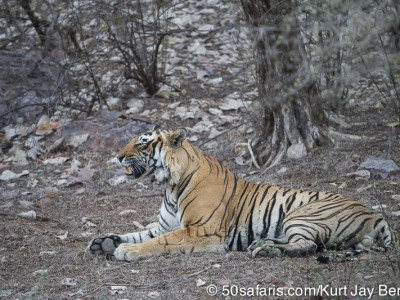 tiger safari, india, ranthambore, tiger, calendar, when to go, best, wildlife, safari, photo safari, photo tour, photographic safari, photographic tour, photo workshop, wildlife photography, 50 safaris, 50 photographic safaris, kurt jay bertels, tiger, male, large, adult