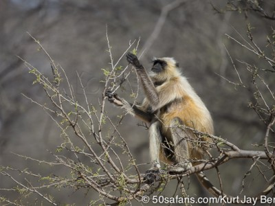 tiger safari, india, ranthambore, tiger, calendar, when to go, best, wildlife, safari, photo safari, photo tour, photographic safari, photographic tour, photo workshop, wildlife photography, 50 safaris, 50 photographic safaris, kurt jay bertels, langur, monkey