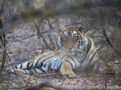 tiger safari, india, ranthambore, tiger, calendar, when to go, best, wildlife, safari, photo safari, photo tour, photographic safari, photographic tour, photo workshop, wildlife photography, 50 safaris, 50 photographic safaris, kurt jay bertels, tiger, cub, young, sub-adult