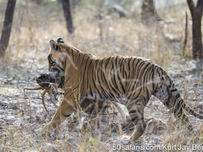 tiger safari, india, ranthambore, tiger, calendar, when to go, best, wildlife, safari, photo safari, photo tour, photographic safari, photographic tour, photo workshop, wildlife photography, 50 safaris, 50 photographic safaris, kurt jay bertels, tiger, female, adult, dragging, kill