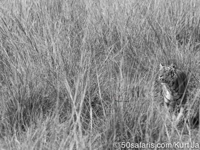 tiger safari, india, ranthambore, tiger, calendar, when to go, best, wildlife, safari, photo safari, photo tour, photographic safari, photographic tour, photo workshop, wildlife photography, 50 safaris, 50 photographic safaris, kurt jay bertels, tiger, female, adult
