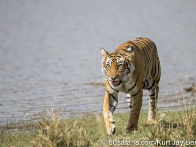 tiger safari, india, ranthambore, tiger, calendar, when to go, best, wildlife, safari, photo safari, photo tour, photographic safari, photographic tour, photo workshop, wildlife photography, 50 safaris, 50 photographic safaris, kurt jay bertels, tiger, female, adult