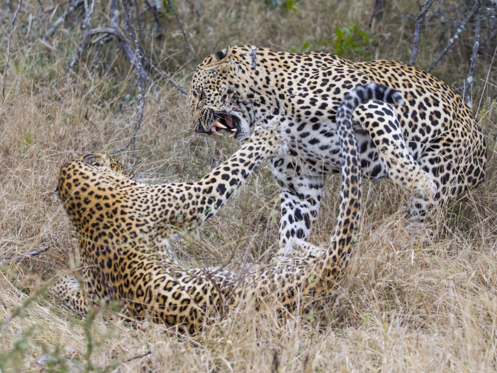 Leopards mating, photo safari, fivezero safaris, photographic safari, wildlife, kurt jay bertels,