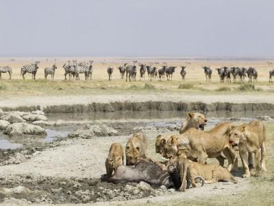 photo safari, fivezero safaris, photographic safari, wildlife, kurt jay bertels, amboseli, kenya, lion kill, lions, wildebeest