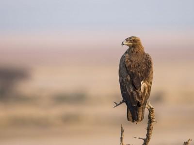 photo safari, fivezero safaris, photographic safari, wildlife, kurt jay bertels, amboseli, kenya, tawny eagle