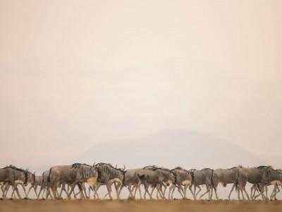 photo safari, fivezero safaris, photographic safari, wildlife, kurt jay bertels, amboseli, kenya, wildebeest
