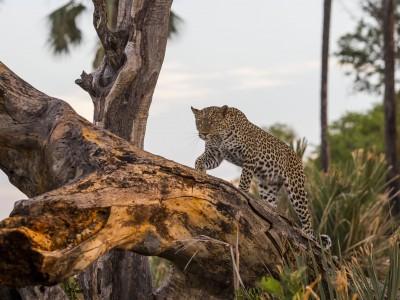 photo safari, fivezero safaris, photographic safari, wildlife, kurt jay bertels, leopard, climbing tree, botswana