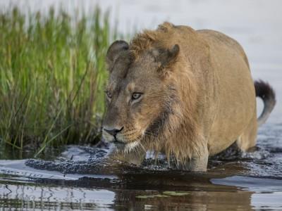 photo safari, fivezero safaris, photographic safari, wildlife, kurt jay bertels, lion, swimming, botswana, okavango delta