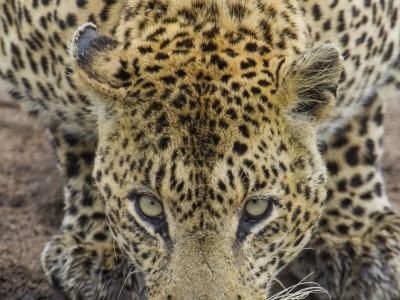 photo safari, fivezero safaris, photographic safari, wildlife, kurt jay bertels, leopard, drinking, south africa