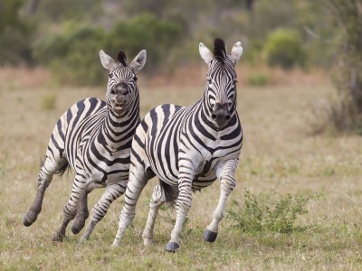 photo safari, fivezero safaris, photographic safari, wildlife, kurt jay bertels, zebra, fighting, south africa