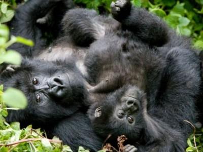 gorilla, mountain gorilla, rwanda, photo safari, photographic safari, wildlife, kurt jay bertels, safari, luxury, five zero safaris, baby