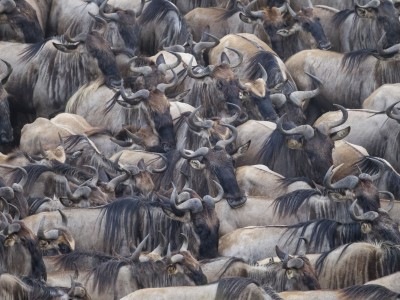 photo safari, fivezero safaris, photographic safari, wildlife, kurt jay bertels, great migration, wildebeest, crossing, kenya, masai mara