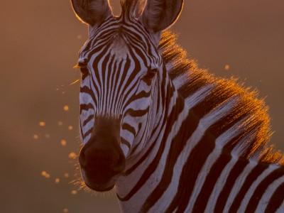 photo safari, fivezero safaris, photographic safari, wildlife, kurt jay bertels, zebra, masai mara, kenya