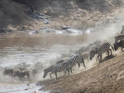 photo safari, fivezero safaris, photographic safari, wildlife, kurt jay bertels, great migration, wildebeest, crossing, kenya, masai mara, zebra