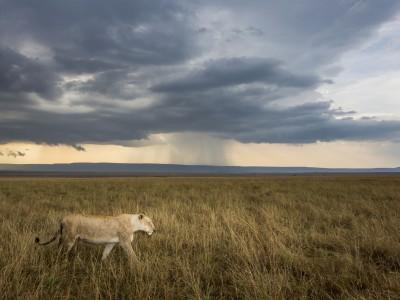 photo safari, fivezero safaris, photographic safari, wildlife, kurt jay bertels, lioness, lion, kenya, masai mara