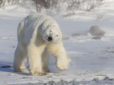 photo safari, fivezero safaris, photographic safari, wildlife, kurt jay bertels, polar bear, churchill, canada