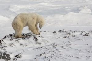 Five-Zero-Safaris_Polar-Bear-SafariL91C7789