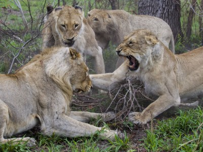 photo safari, fivezero safaris, photographic safari, wildlife, kurt jay bertels, lions, fighting, south africa