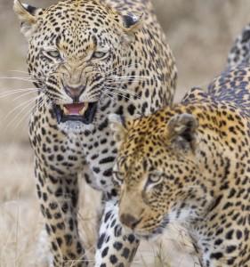 Five-Zero-Safaris_South-Africa-Predators_EH6J7945
