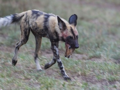 photo safari, fivezero safaris, photographic safari, wildlife, kurt jay bertels, wild dog, kill, steenbok, south africa