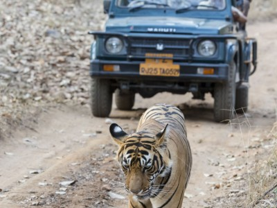 photo safari, fivezero safaris, photographic safari, wildlife, kurt jay bertels, bengal tiger, tiger, india, gypsy