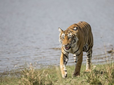 photo safari, fivezero safaris, photographic safari, wildlife, kurt jay bertels, tiger, bengal tiger, india