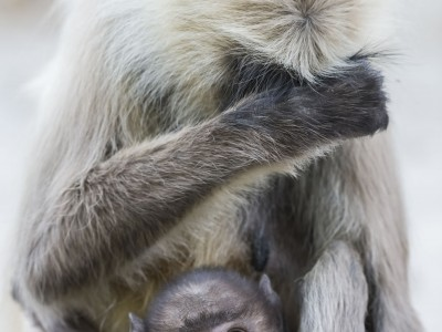 photo safari, fivezero safaris, photographic safari, wildlife, kurt jay bertels, grey langur, monkey, india, baby