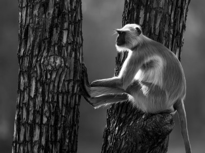 photo safari, fivezero safaris, photographic safari, wildlife, kurt jay bertels, grey langur, india, monkey