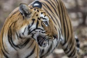 Five-Zero-Safaris_Tigers_I7R5558