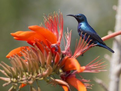photo safari, fivezero safaris, photographic safari, wildlife, kurt jay bertels, purple sunbird, india