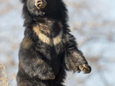 photo safari, fivezero safaris, photographic safari, wildlife, kurt jay bertels, sloth bear, india