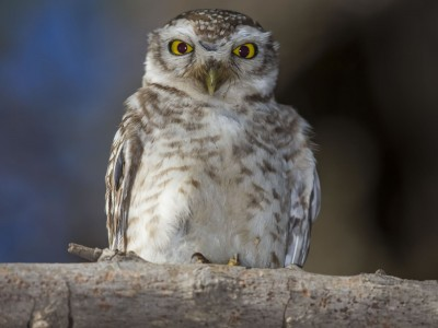 photo safari, fivezero safaris, photographic safari, wildlife, kurt jay bertels, spotted owlet, india