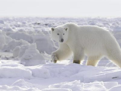 Permalink to The Polar Bear Safari in Canada