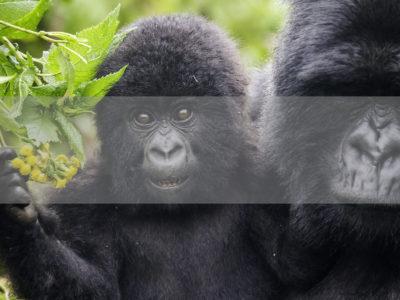 Permalink to The Gorilla Safari in Rwanda