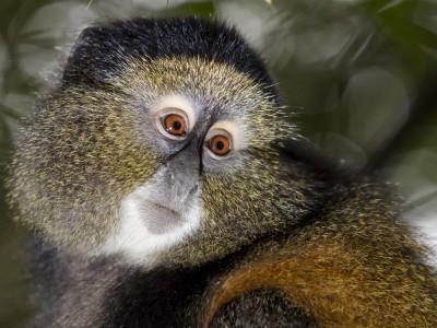 golden monkey, gorilla, mountain gorilla, rwanda, photo safari, photographic safari, wildlife, kurt jay bertels, safari, luxury, fivezero safaris