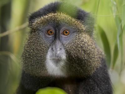 gorilla, mountain gorilla, rwanda, photo safari, photographic safari, wildlife, kurt jay bertels, safari, luxury, fivezero safaris