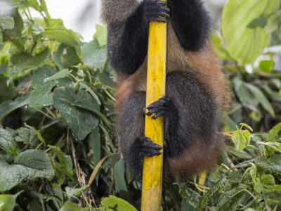 gorilla, mountain gorilla, rwanda, photo safari, photographic safari, wildlife, kurt jay bertels, safari, luxury, five zero safaris, golden monkey