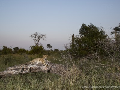 calendar, when to go, best, wildlife, safari, photo safari, photo tour, photographic safari, photographic tour, photo workshop, wildlife photography, five zero safaris, five zero photographic safaris, fivezero, kurt jay bertels, south africa, leopard, tree