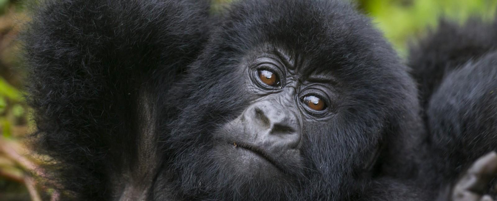 Permalink to The Gorilla Safari: Day 3