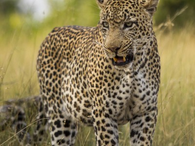 calendar, when to go, best, wildlife, safari, photo safari, photo tour, photographic safari, photographic tour, photo workshop, wildlife photography, five zero safaris, five zero photographic safaris, fivezero, kurt jay bertels, south africa, male, leopard