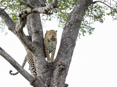 calendar, when to go, best, wildlife, safari, photo safari, photo tour, photographic safari, photographic tour, photo workshop, wildlife photography, five zero safaris, five zero photographic safaris, fivezero, kurt jay bertels, south africa, male, leopard, tree