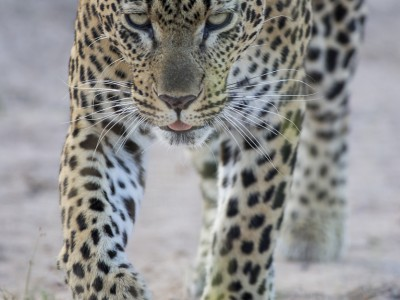 calendar, when to go, best, wildlife, safari, photo safari, photo tour, photographic safari, photographic tour, photo workshop, wildlife photography, five zero safaris, five zero photographic safaris, fivezero, kurt jay bertels, south africa, leopard, female