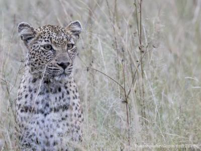 calendar, when to go, best, wildlife, safari, photo safari, photo tour, photographic safari, photographic tour, photo workshop, wildlife photography, five zero safaris, five zero photographic safaris, fivezero, kurt jay bertels, south africa, female leopard
